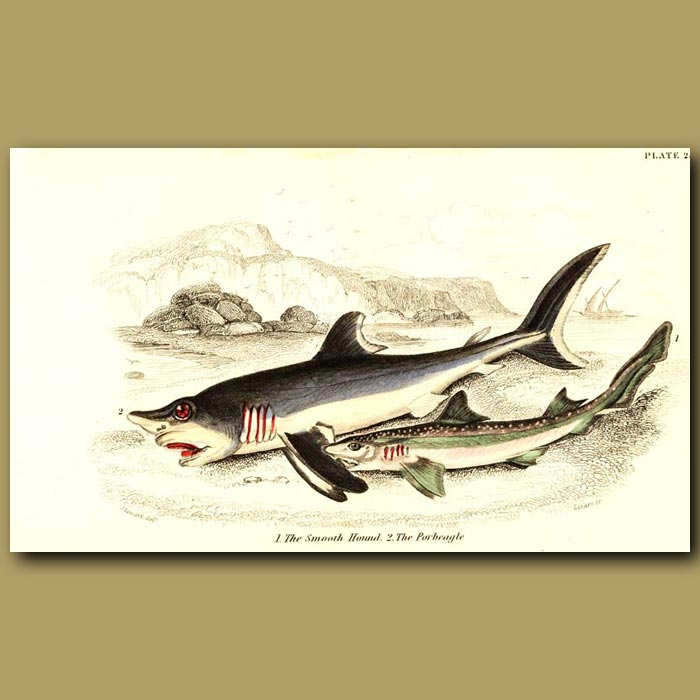 Antique print. The Smooth Hound and The Porbeagle Sharks