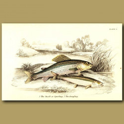 The Smelt or Sparling and the Grayling