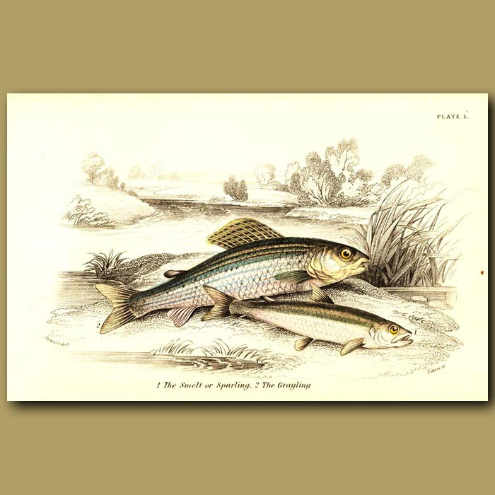 Antique print. The Smelt or Sparling and the Grayling