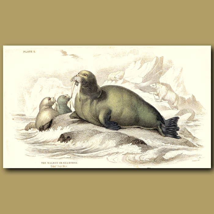 Antique print. The Walrus