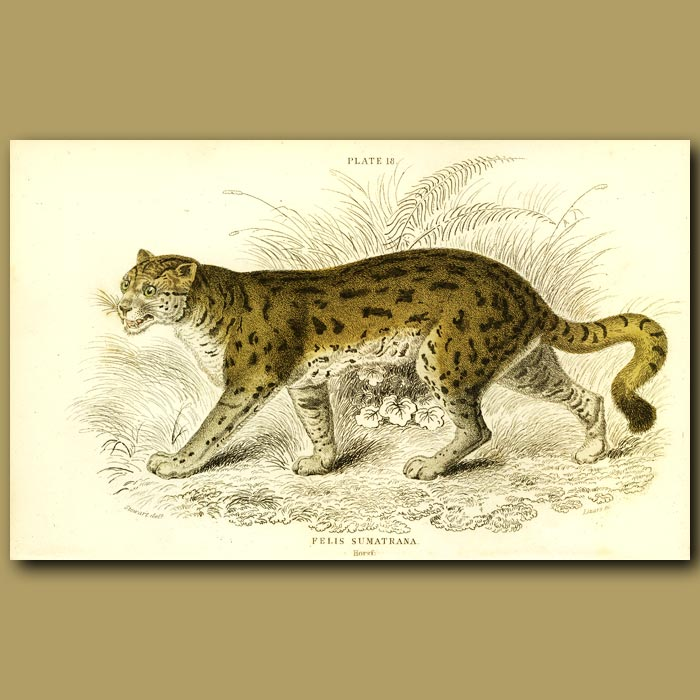 Antique print. The Sumatran Cat