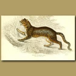 The Sunda Clouded Leopard or Diard's Cat