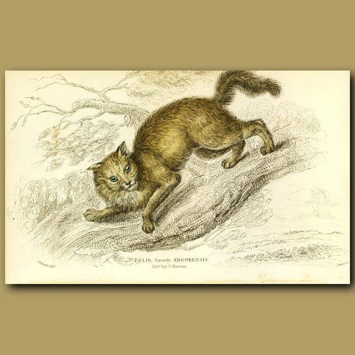 Antique print. Angora Cat