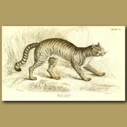 The Common Wild Cat