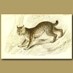 The Canada Lynx