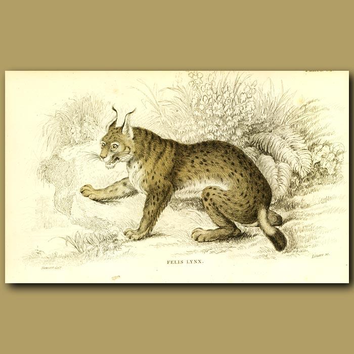 Antique print. The European Lynx