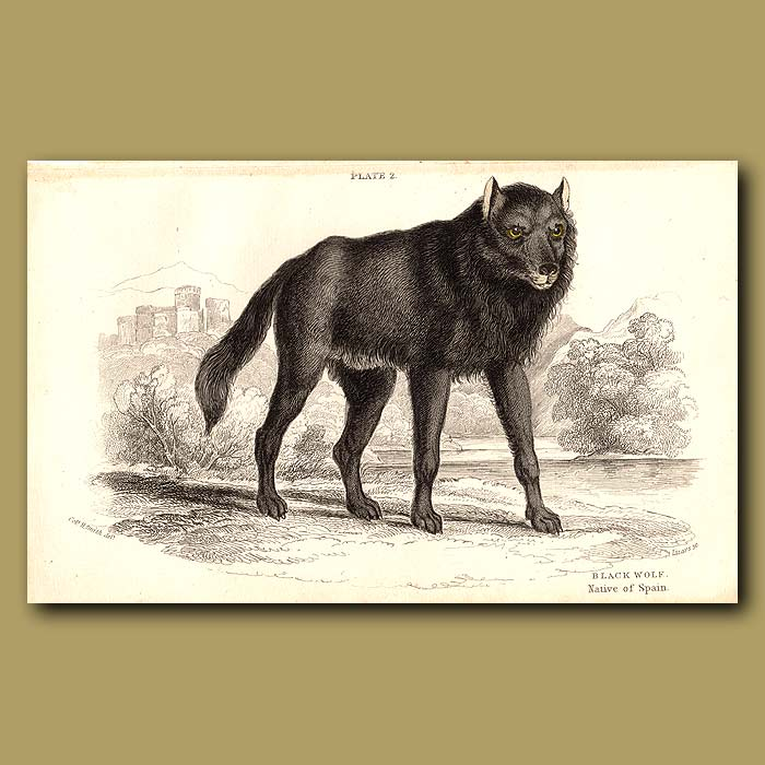 Antique print. Black Wolf