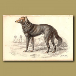 Dusky Wolf