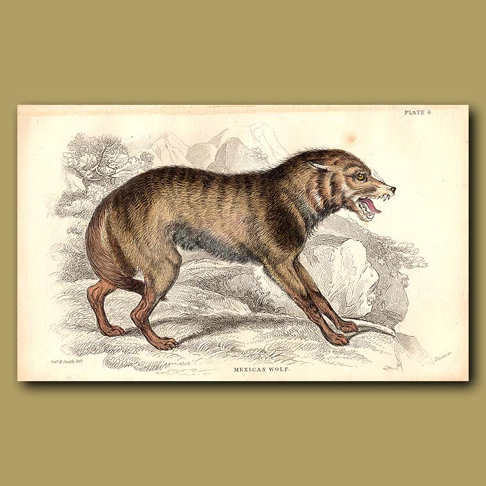 Antique print. Mexican Wolf