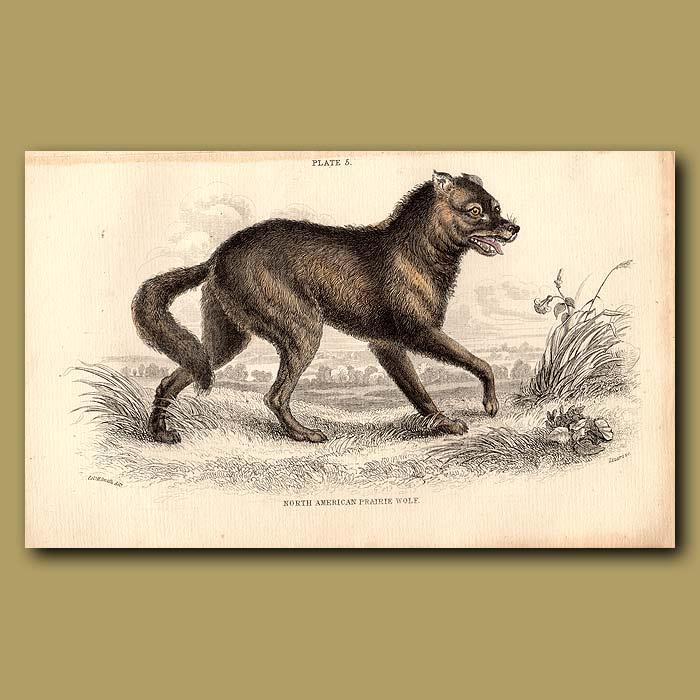 Antique print. North American Prairie Wolf