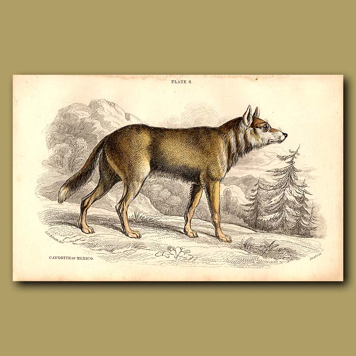 Antique print. Cayote or Caygotte