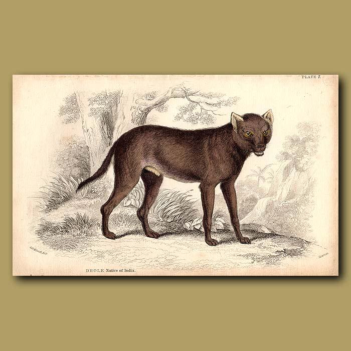 Antique print. Dhole or Asiatic Wild Dog