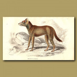 Dhole or Asiatic Wild Dog