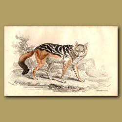 Cape Thous-dog or Black-backed Jackal