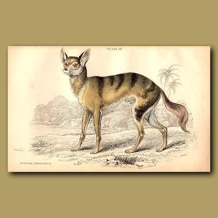 Antique print. Senegal Thous-dog or African Wild Dog