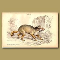 Wild Dog or Thous of Natolia