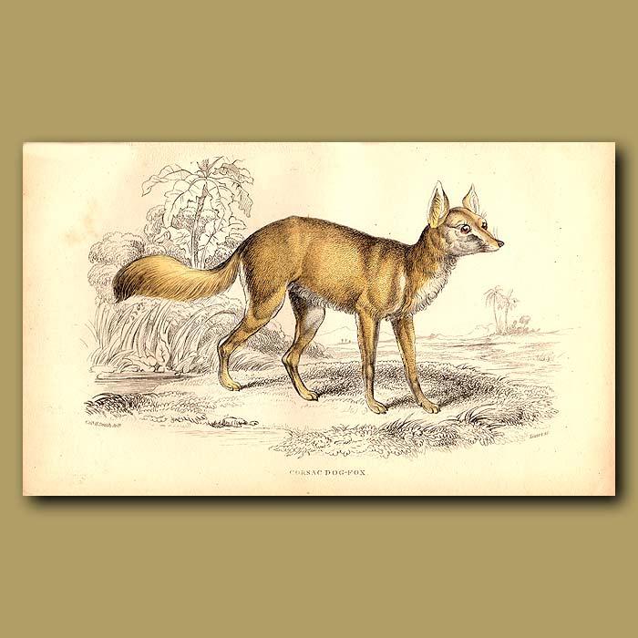 Antique print. Corsac Dog-fox