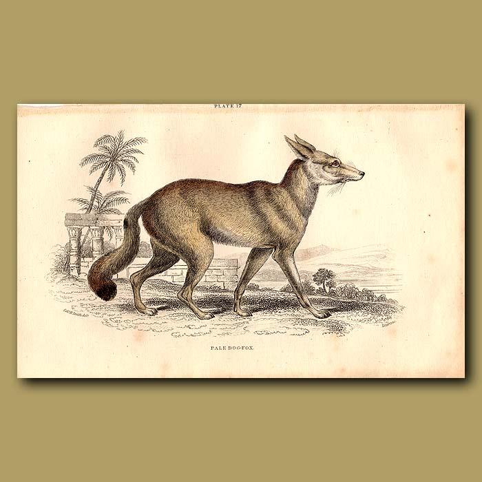Antique print. Pale Fox-dog
