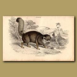 Turkish Dog-fox