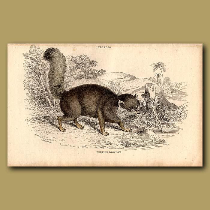 Antique print. Turkish Dog-fox