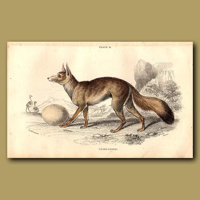 Antique print. Caama Fennec or Cape Fox