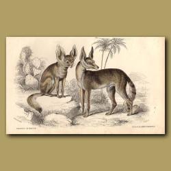 Fennec of Bruce or Bat-eared Fox