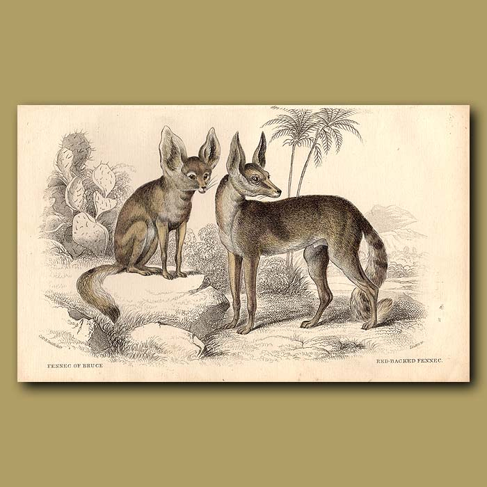 Antique print. Fennec of Bruce or Bat-eared Fox