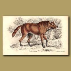 Maned Aguara or Maned Wolf
