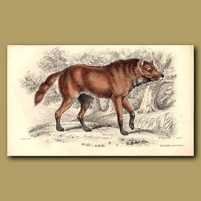Antique print. Maned Aguara or Maned Wolf