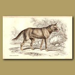 Hoary Aguara Dog