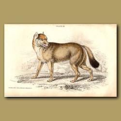 Falkland Island Aguara Dog