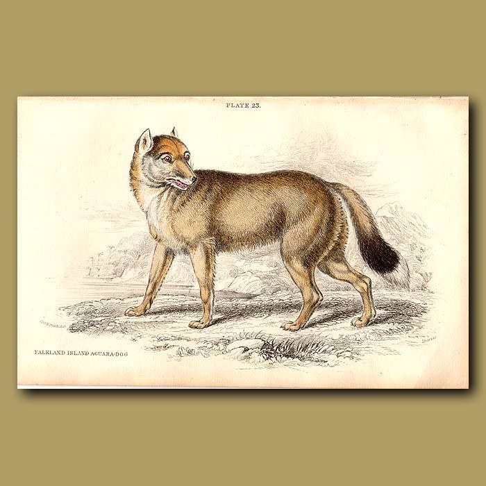 Antique print. Falkland Island Aguara Dog