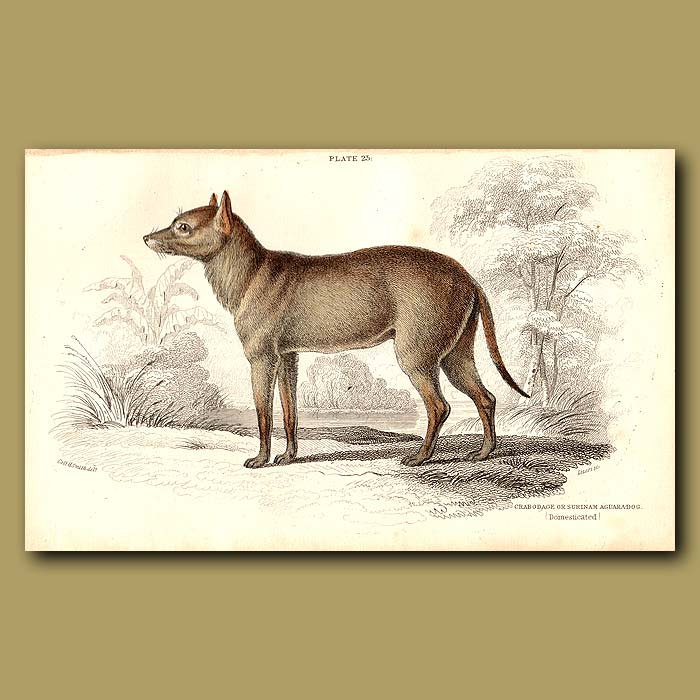 Antique print. Aguara dog of the woods