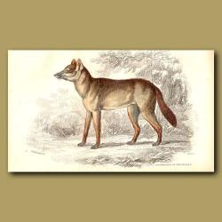 Surinam Aguara Dog
