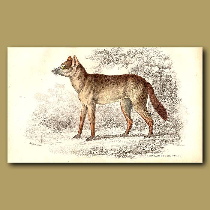 Antique print. Surinam Aguara Dog