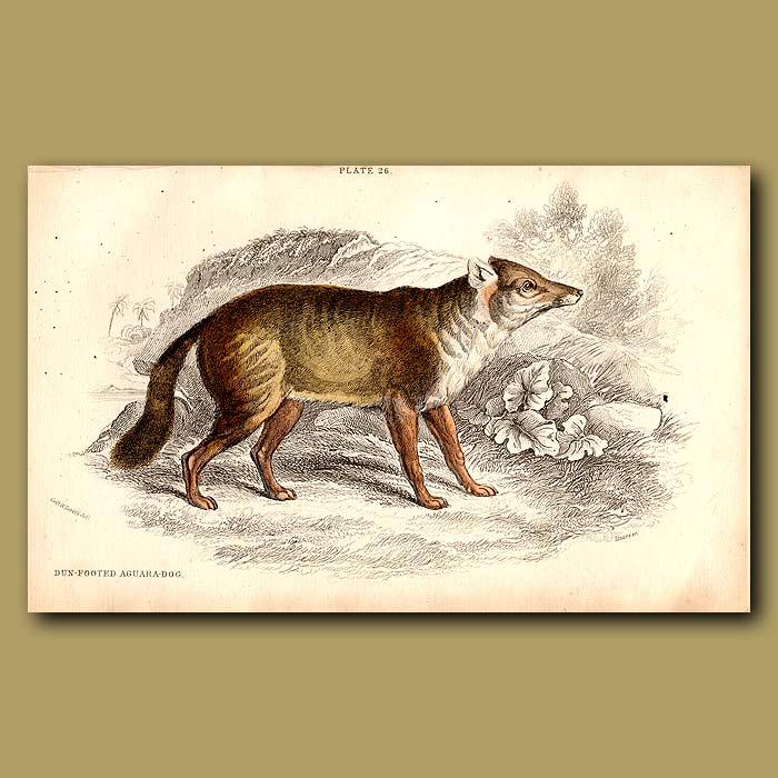 Antique print. Darwin's Fox or Dun-footed Aguara Dog