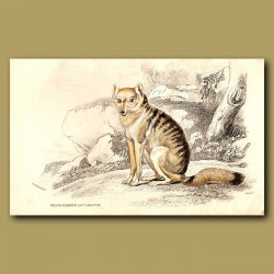 White-barred Aguara Fox