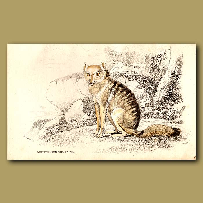 Antique print. White-barred Aguara Fox