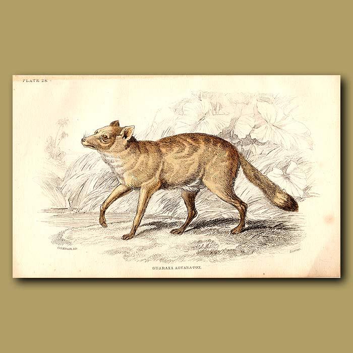 Antique print. Guaraxa Aguara Fox