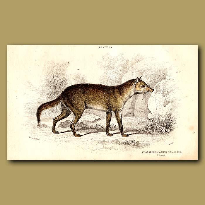 Antique print. Crabodago or Crab-eating Fox