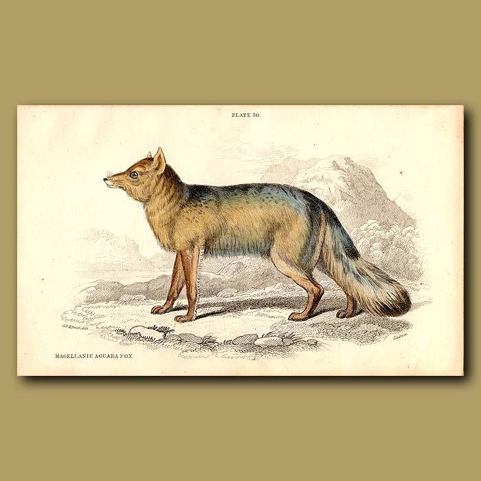 Antique print. Magellanic Aguara Fox