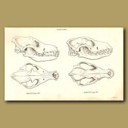 Dingo Skull