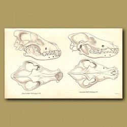 French and Canadian Wolf Skulls