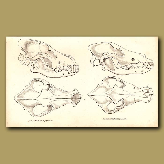 Antique print. French and Canadian Wolf Skulls