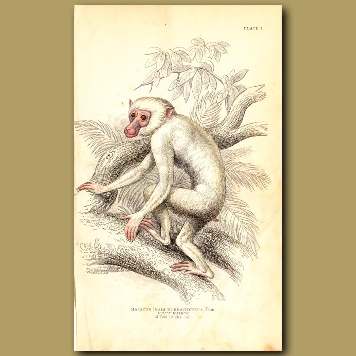 Antique print. White Maimon