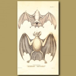 White Boxtailed Bat and Common Vampire Bat