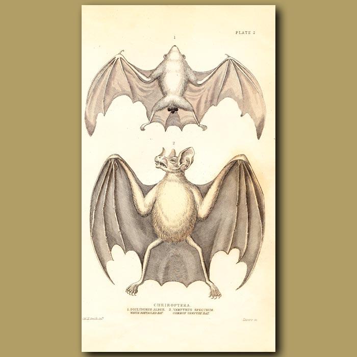 Antique print. White Boxtailed Bat and Common Vampire Bat