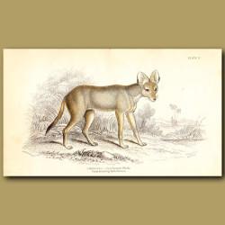 Greyhound Dhole
