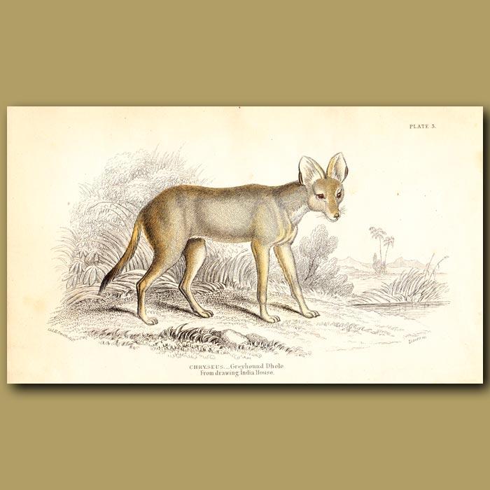 Antique print. Greyhound Dhole