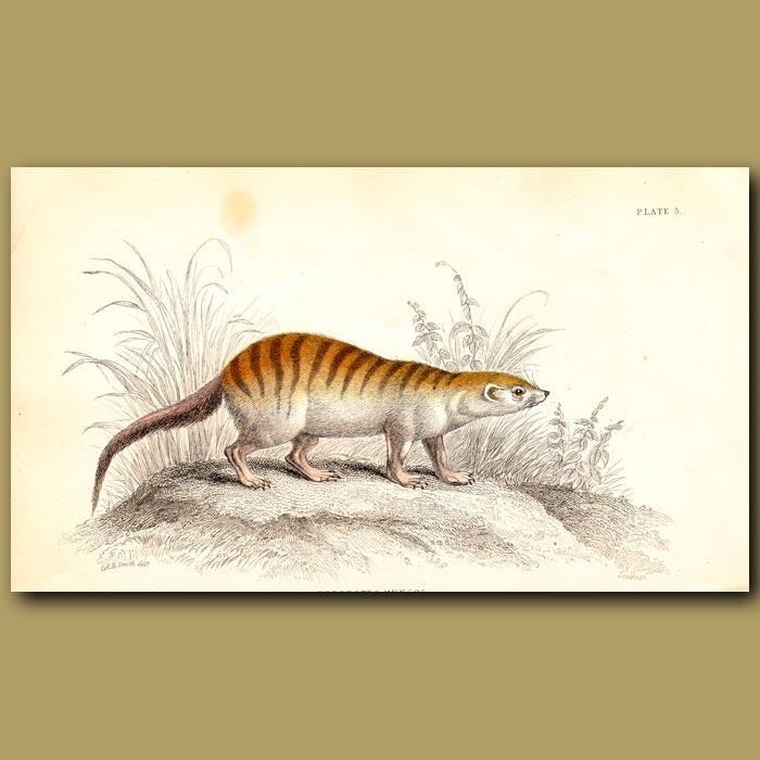 Antique print. Mongoose